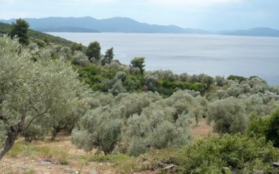 The olive grove next to two beaches and spectacular sea views